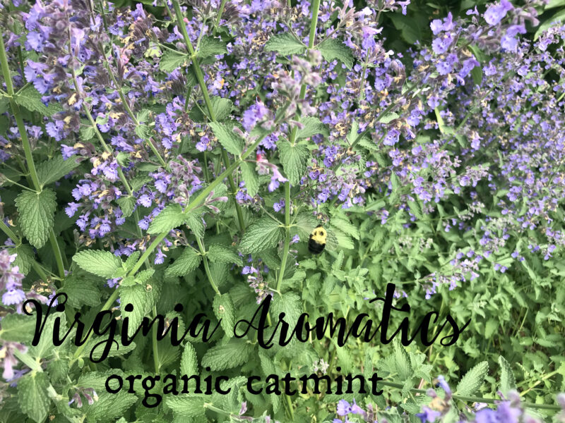 Virginia Aromatics organic catmint